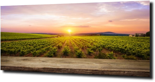 obraz na szkle Drzewa winogronowe w Toskani