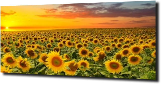 obraz na szkle, panel szklany Słoneczniki 6