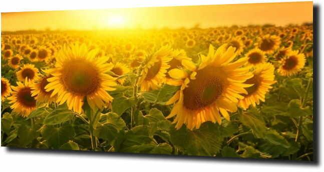 obraz na szkle, panel szklany Słoneczniki 7