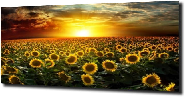 obraz na szkle, panel szklany Słonecznik 16