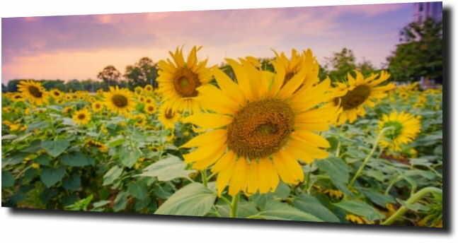 obraz na szkle, panel szklany Słonecznik 71