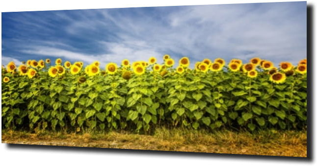 obraz na szkle, panel szklany Słonecznik 73