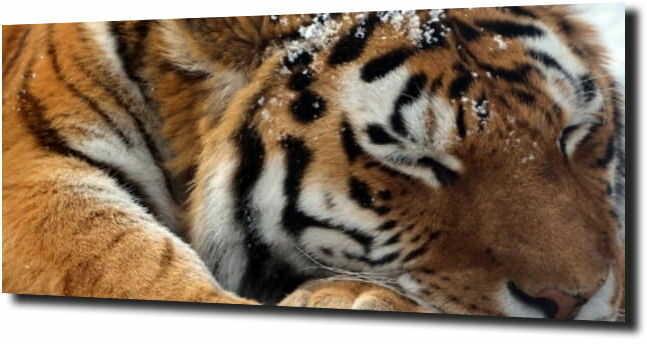 obraz na szkle, panel szklany Śpiący tygrys