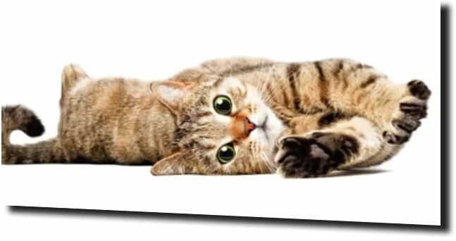 obraz na szkle, panel szklany Kot białe tło