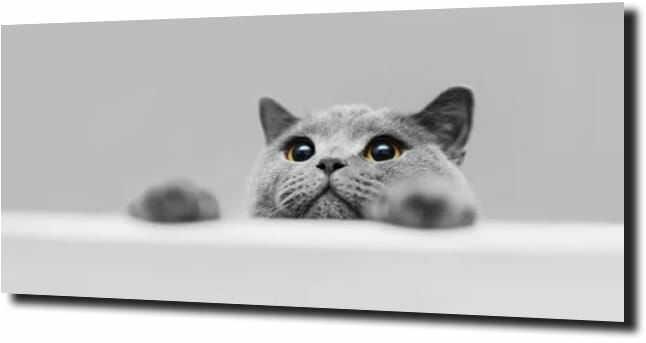 obraz na szkle, panel szklany Kot brytyjski