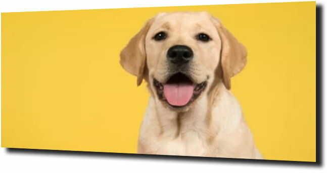 obraz na szkle, panel szklany Labrador pies