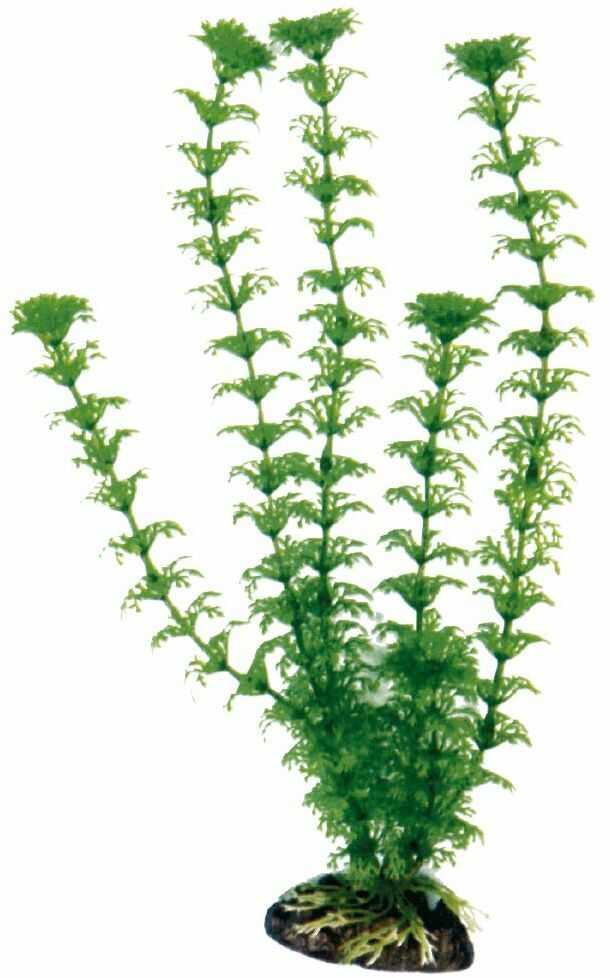 Fala roślina kabomba klasyczna, duża