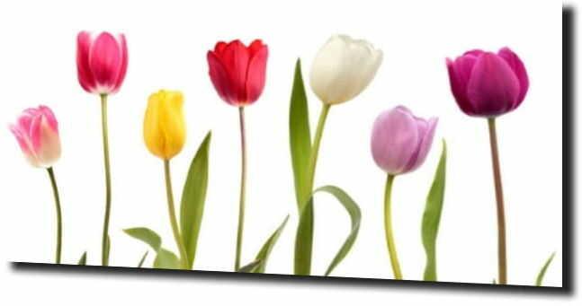 obraz na szkle, panel szklany Tulipany 24 120X60