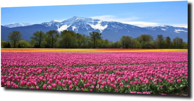 obraz na szkle, panel szklany Tulipany 43 120X60