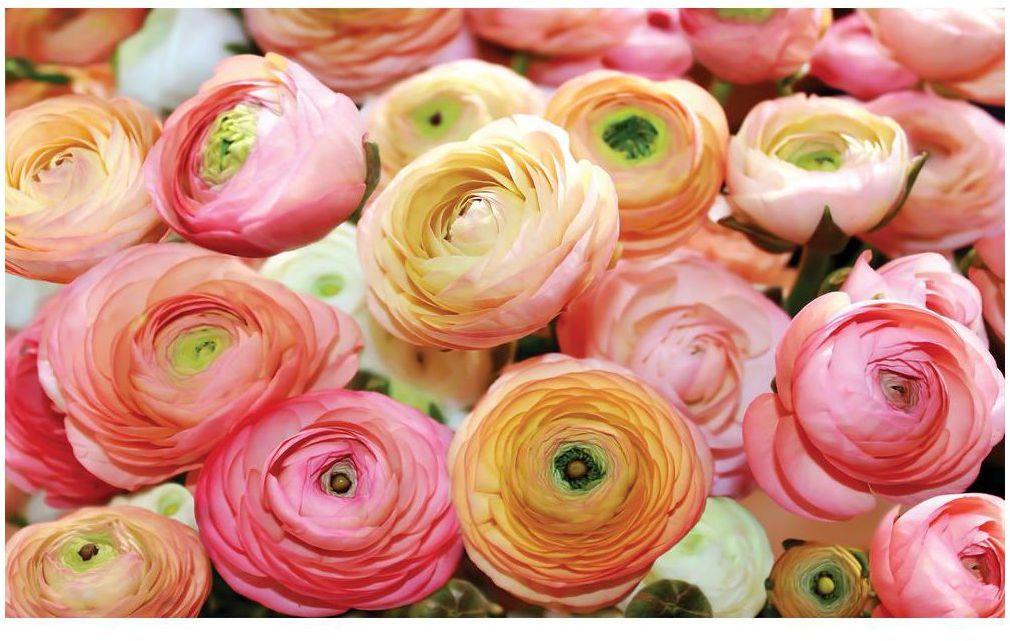 Fototapeta Pastelowe Róże 312 x 219 cm