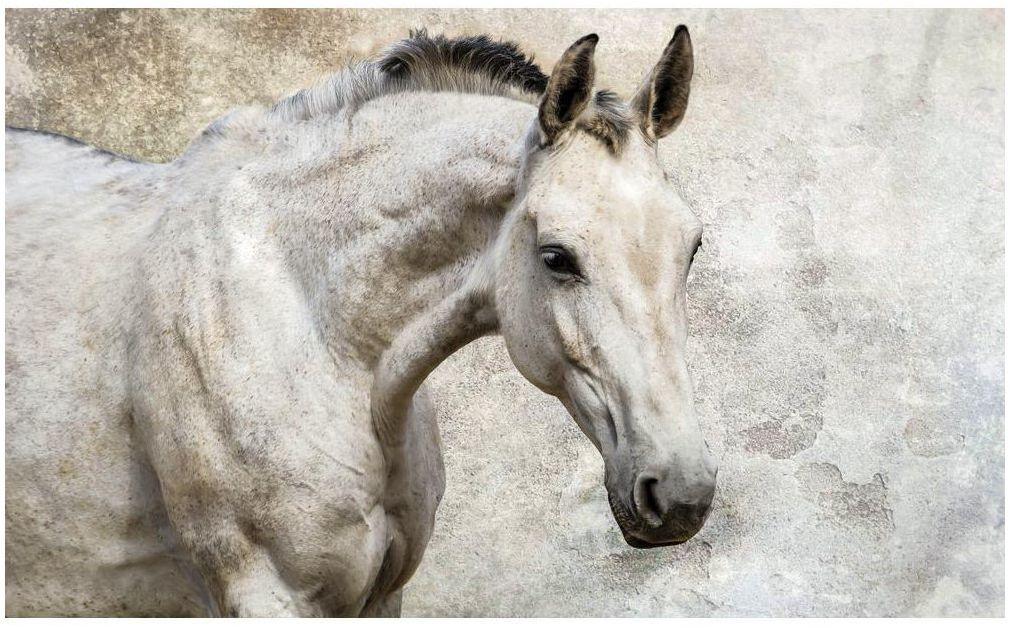 Fototapeta Biały Koń 368 x 254 cm