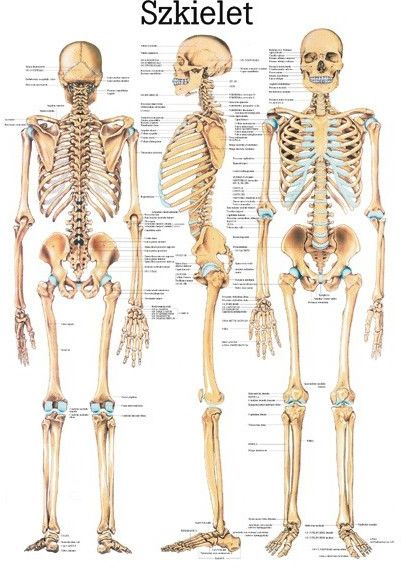 Plansza anatomiczna- plakaty do nauki anatomii