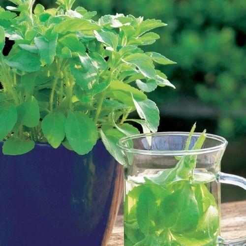 Stewia ''sweet honey''  nasiona  kiepenkerl