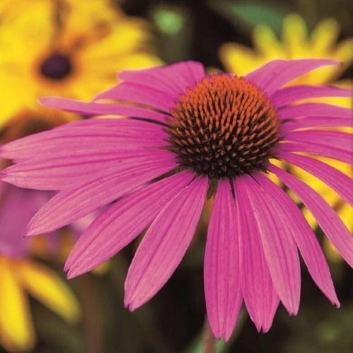 Jeżówka ''roter leuchtstern''  purpurowa  kiepenkerl