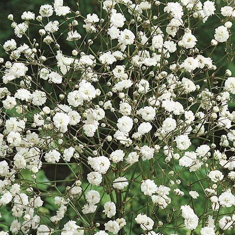 Gipsówka biała  łyszczec  kiepenkerl