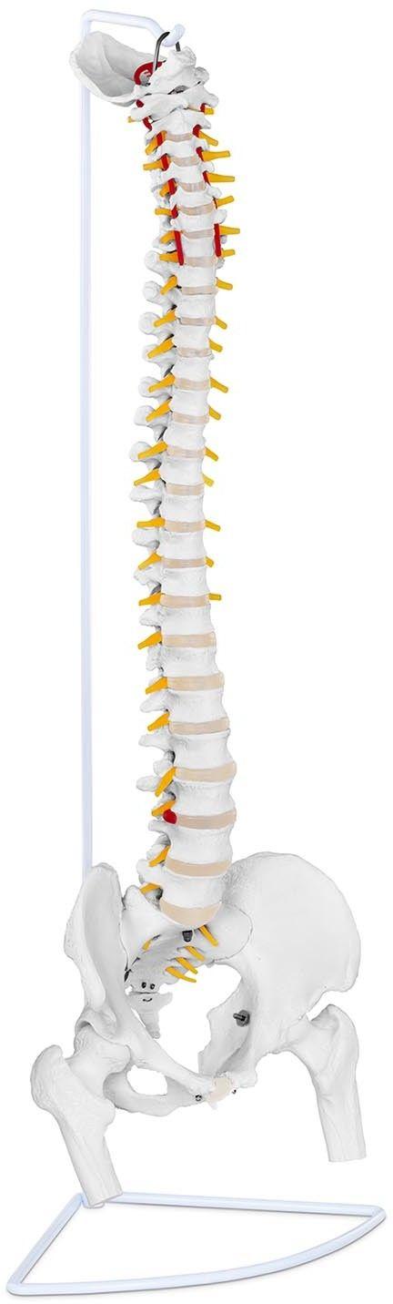 Kręgosłup z miednicą męską - 86 cm - model anatomiczny - physa - PHY-SM-1