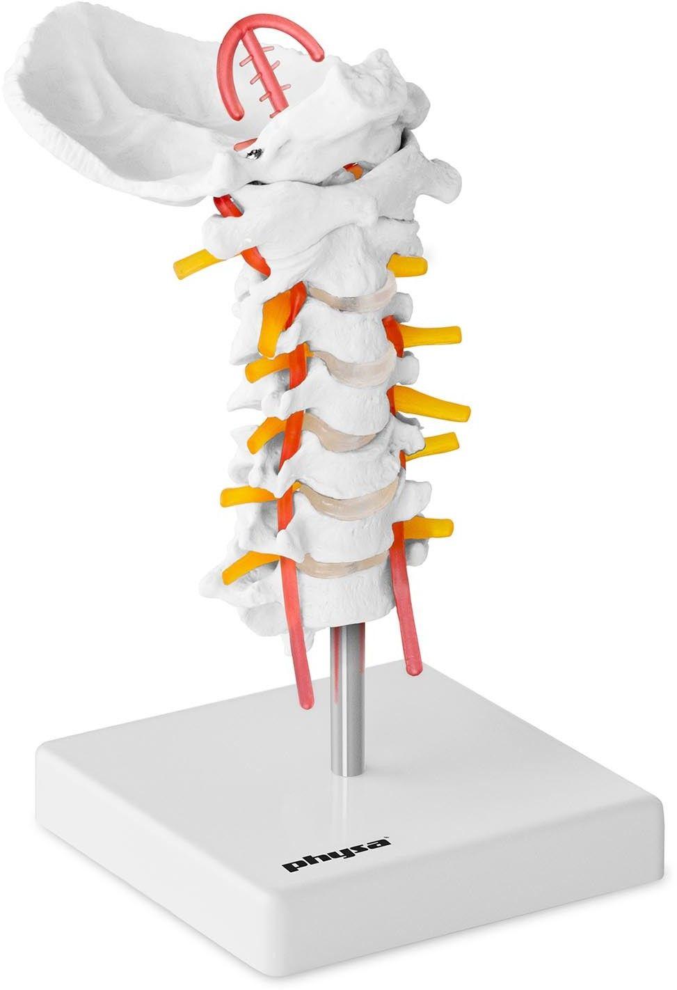 Kręgosłup szyjny - model anatomiczny - physa - PHY-SM-3