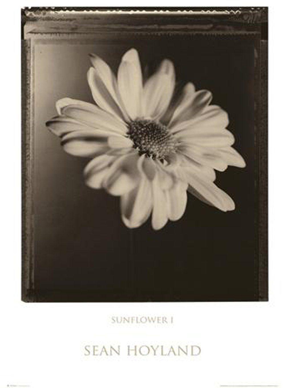 Empire 13880 Flowers - Sunflower Sepia - plakat druk - 61 x 91,5 cm