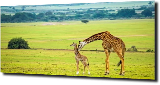obraz na szkle Żyrafa natura zieleń