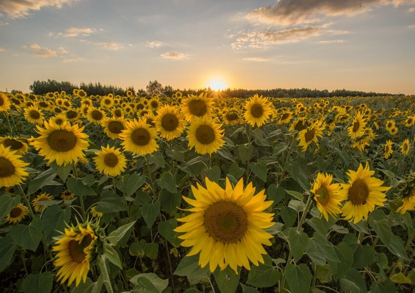 Słoneczniki - plakat premium wymiar do wyboru: 50x40 cm