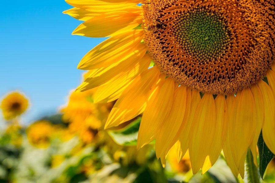 Francja, słoneczniki - plakat premium wymiar do wyboru: 42x29,7 cm