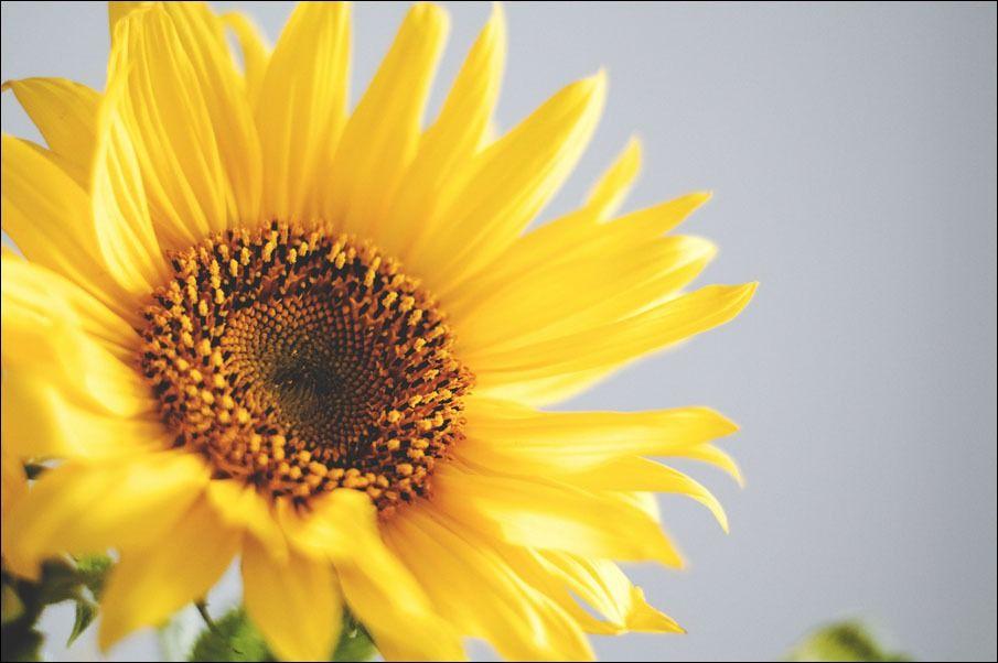 Słonecznik - plakat wymiar do wyboru: 42x29,7 cm