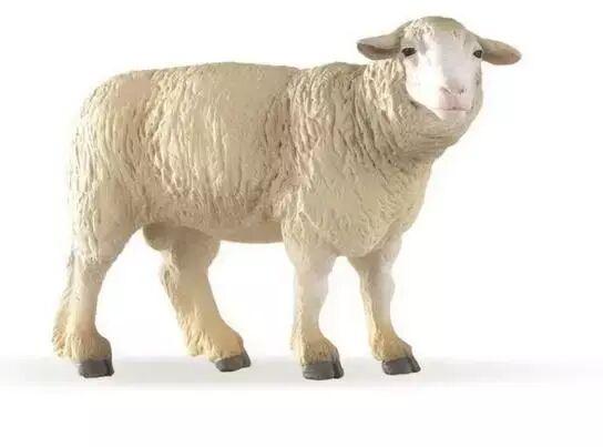 Owca - PAPO