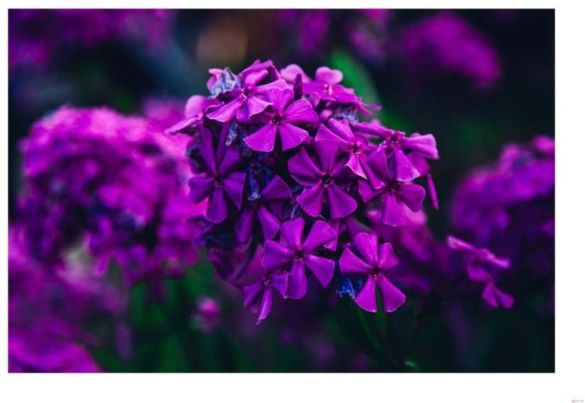 Fioletowe kwiaty - plakat wymiar do wyboru: 70x50 cm