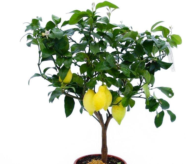 Cytryna florentina duże drzewko