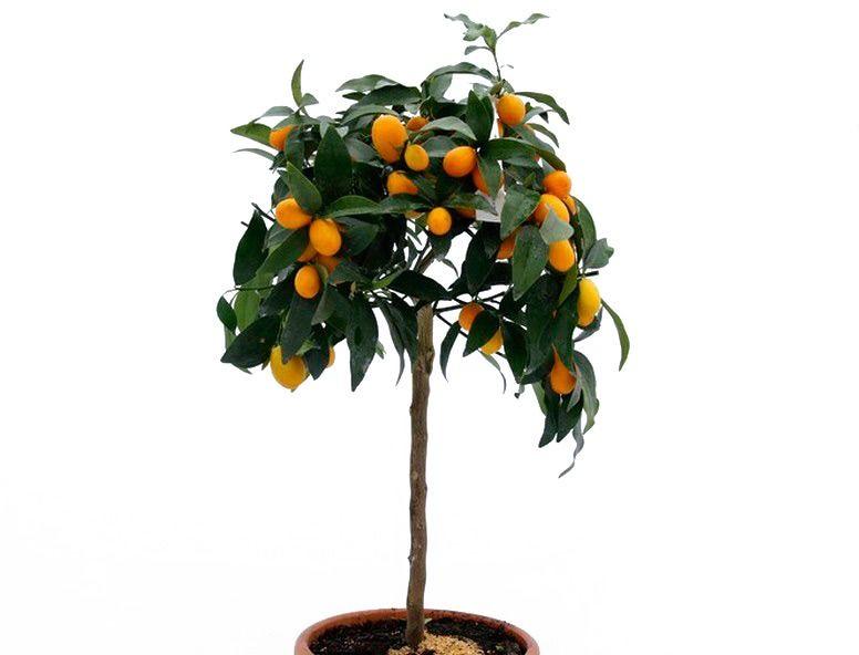 Kumkwat margarita duże drzewko