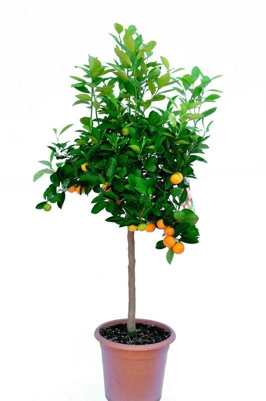 Kalamondyna drzewo