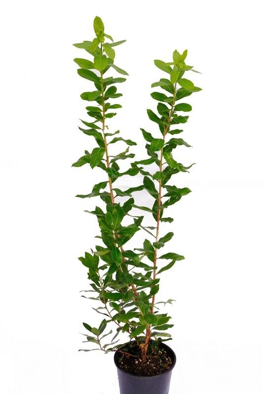Drzewko truskawkowe krzew