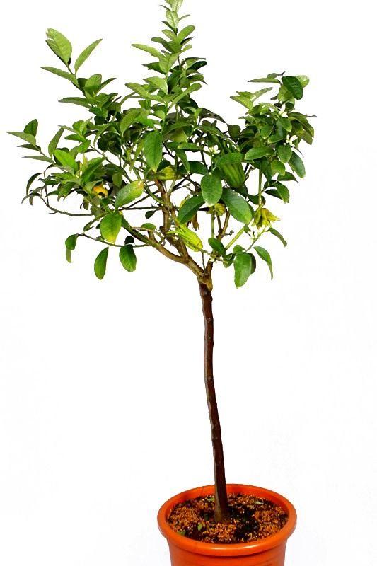 Ręka buddy duże drzewo