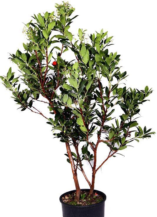 Drzewko truskawkowe duży krzew
