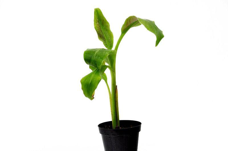 Bananowiec musa acuminata var. acuminata drzewko