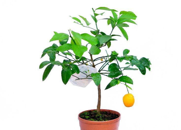 Cytryna meyeri duże drzewko