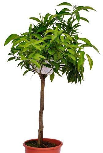 Klementynka duże drzewko