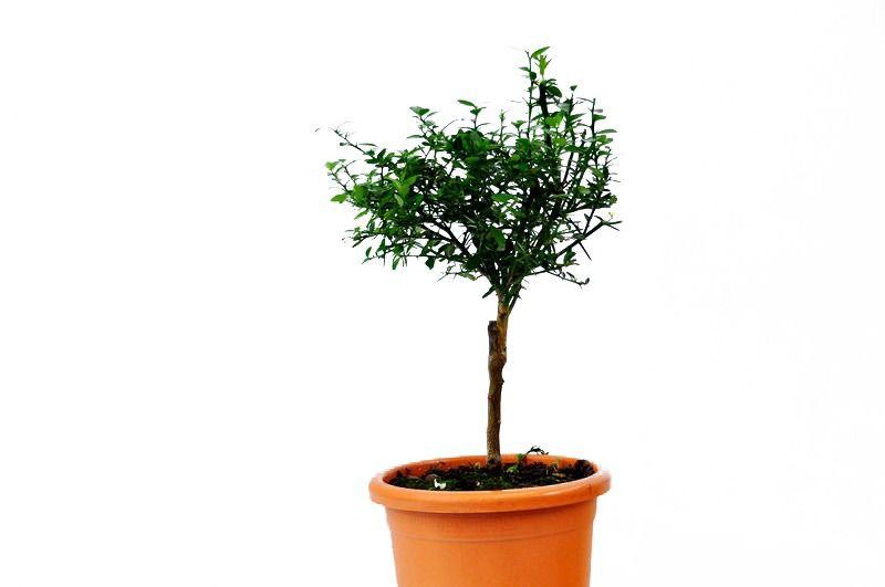 Fingerlime drzewko