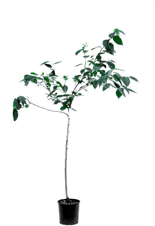 Kaki tipo duże drzewo
