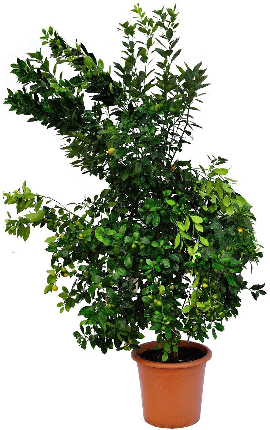 Kalamondyna duże drzewo