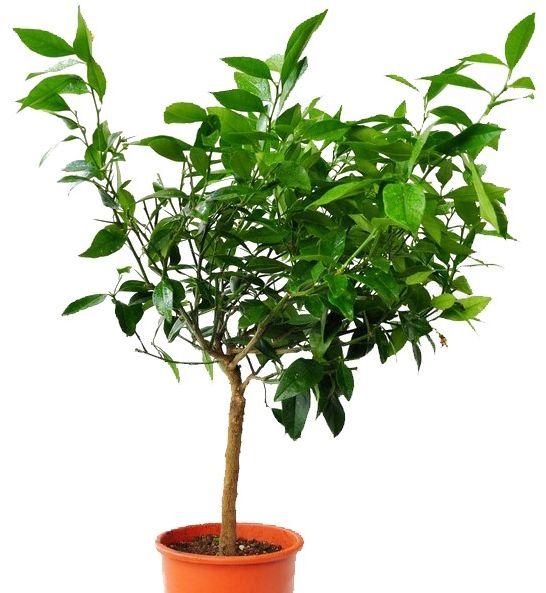 Cytryna czerwona duże drzewko
