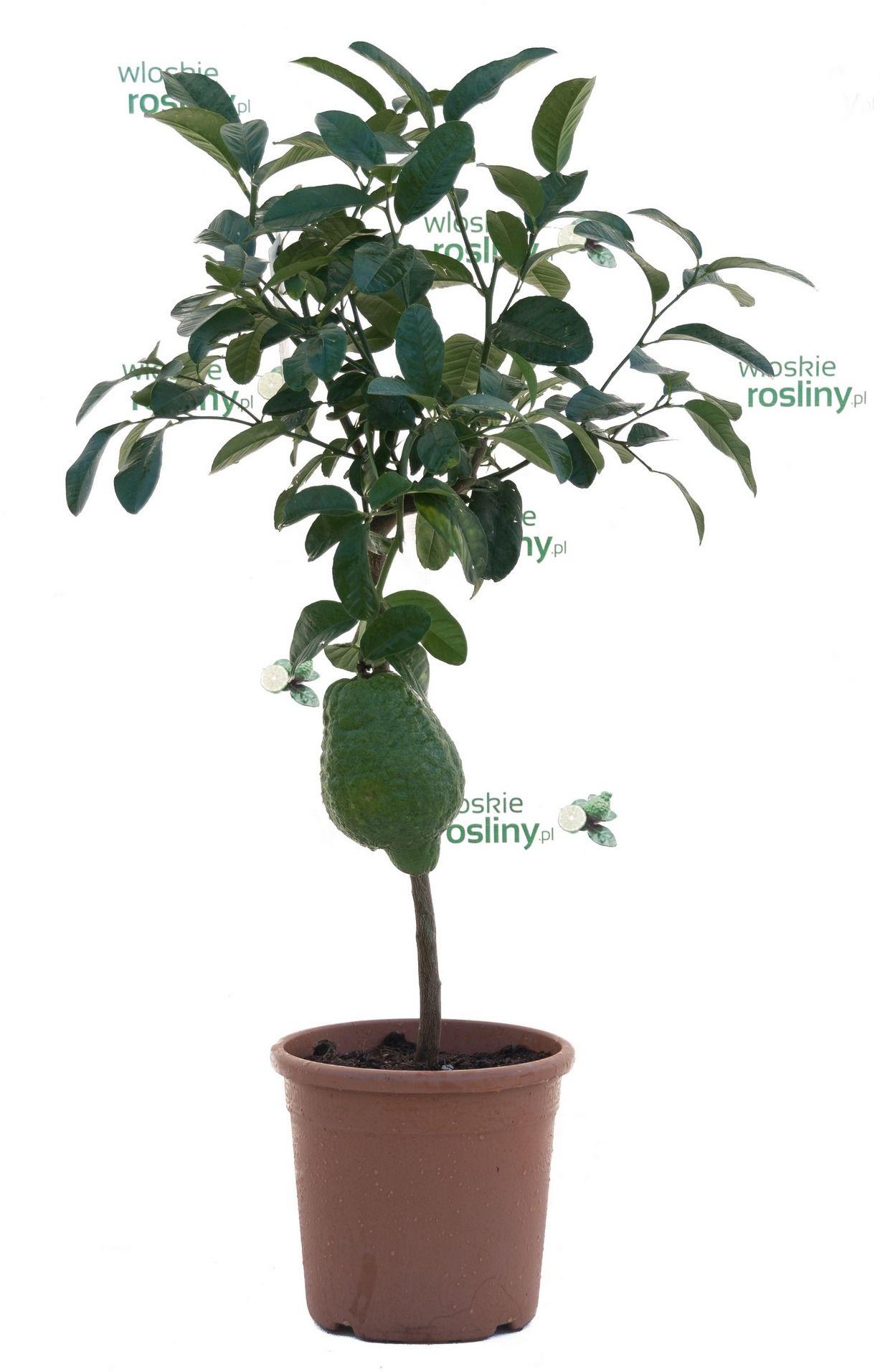 Cedro drzewo