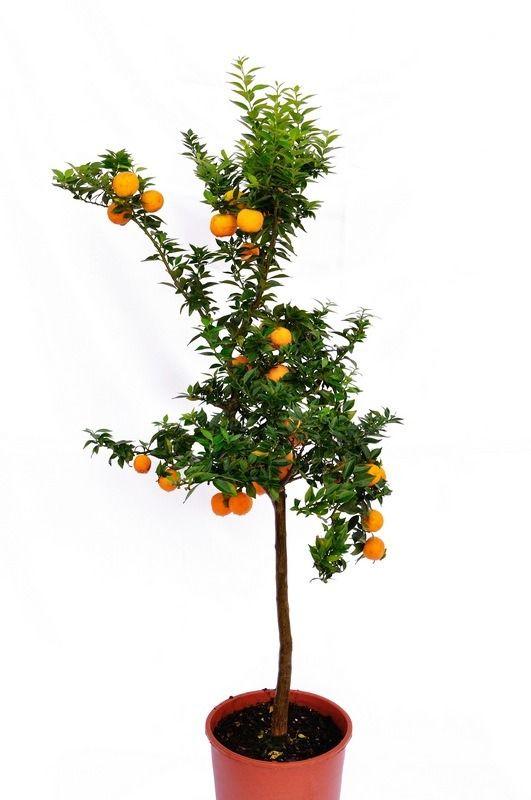 Pomarańcza chinotto drzewo