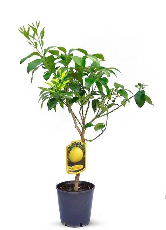 Pomarańcza bergamota drzewko