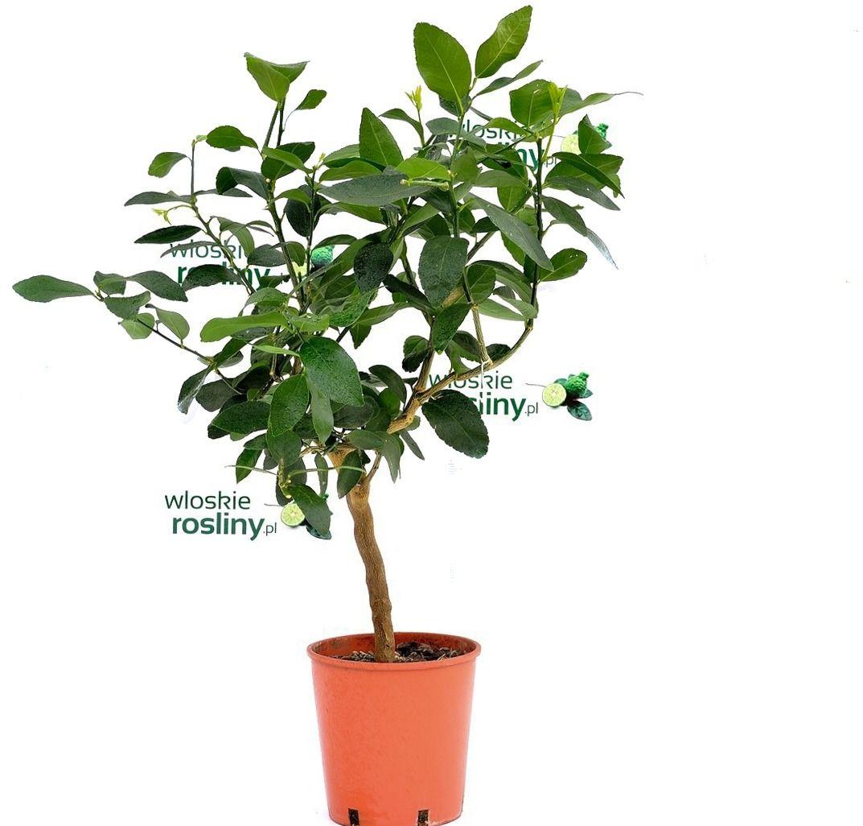 Lima tahiti drzewko