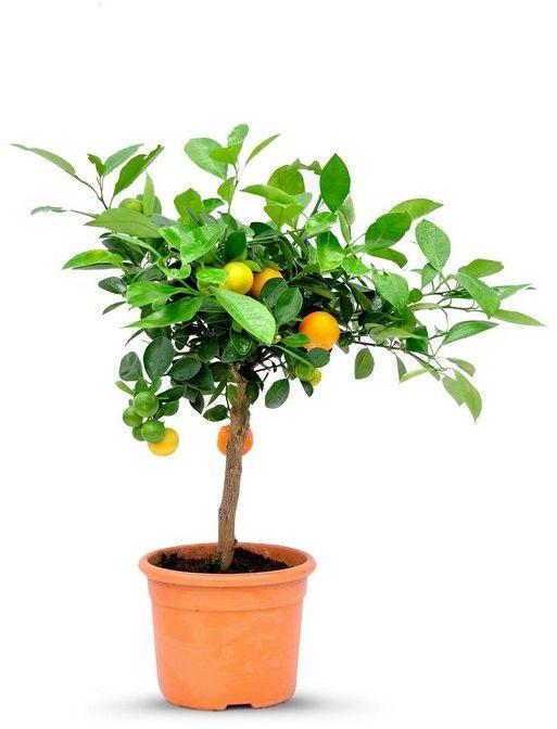 Kalamondyna małe drzewko