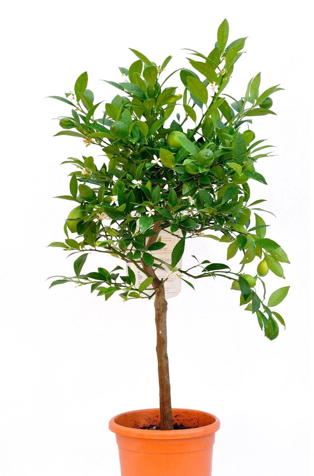 Limequat duże drzewko