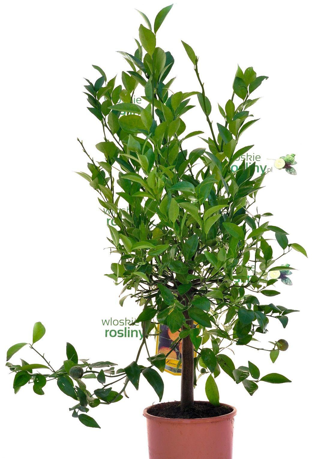 Mandarynka satsuma duże drzewko