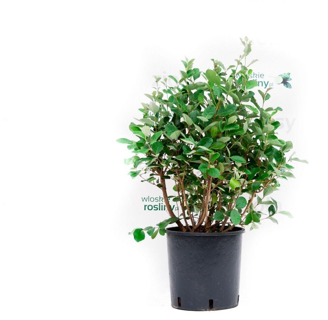 Akka sellowa krzew