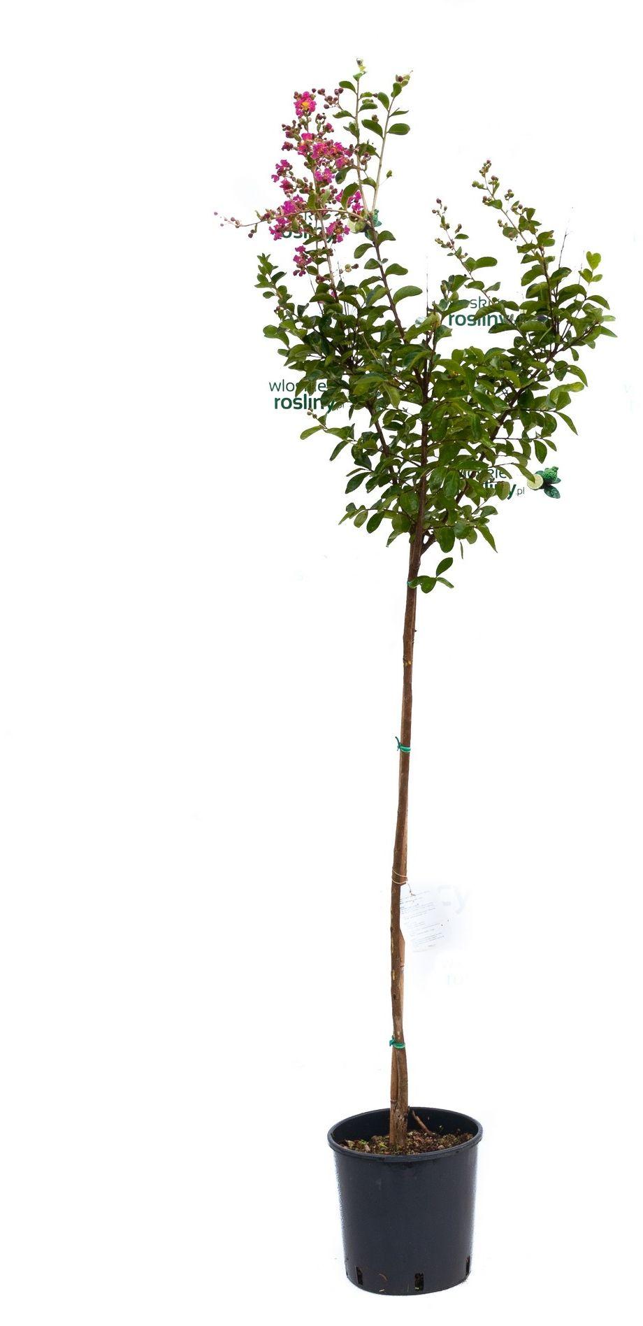 Lagerstroemia indyjska drzewo mix